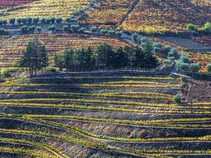Portugal, Douro Valley. The vineyards in autumn on terraced hillside. by Julie Eggers