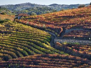 Portugal, Douro Valley. Vineyards in autumn, terraced on hillsides above the Douro River. by Julie Eggers