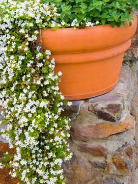 Pot of Flowering Bacopa at Viansa Winery, Sonoma Valley, California, USA by Julie Eggers