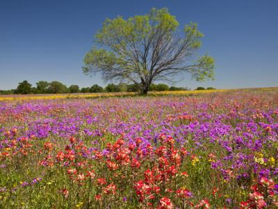 Spring Mesquite Trees Growing in Wildflowers, Texas, USA