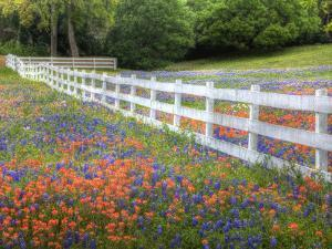 Texas Bluebonnets and Paintbrush Along White Fence Line, Texas, USA by Julie Eggers