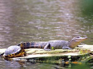 Turtle and Alligator in Pond at Magnolia Plantation, Charleston, South Carolina, USA by Julie Eggers
