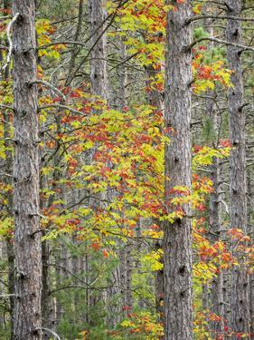 US, Michigan, Upper Peninsula. Fall foliage and pine trees in the forest. by Julie Eggers