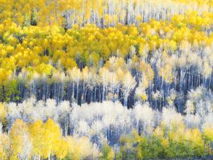 USA, Colorado, Maroon Bells-Snowmass Wilderness. Fall colors on Aspen trees. by Julie Eggers