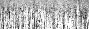 USA, Colorado, San Juan Mts. Aspen trunks panorama in black and white. by Julie Eggers