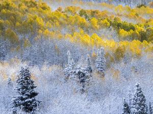 USA, Colorado, San Juan Mts. Fresh snow on aspens in the fall. by Julie Eggers