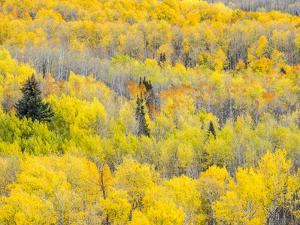 USA, Colorado, San Juan Mts. Yellow and orange fall aspens, Gunnison National Forest, Colorado by Julie Eggers