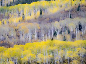 USA, Colorado, San Juan Mts. Yellow and orange fall aspens in Gunnison National forest. by Julie Eggers