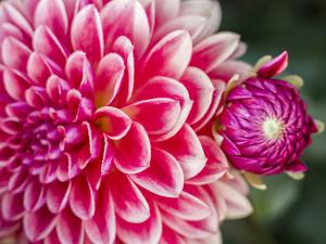 USA, Oregon, Canby, Clackamas County. Close-up of a dahlia variety. by Julie Eggers