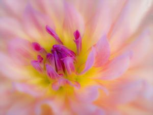 USA, Oregon, Canby, Clackamas County. Macro of a dahlia variety called Dreamcatcher. by Julie Eggers