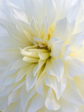 USA, Oregon, Canby, Clackamas County. Macro of a dahlia variety called Frozen. by Julie Eggers