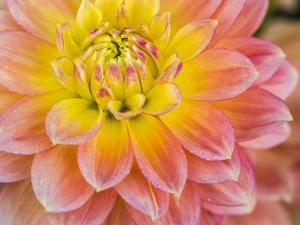 USA, Oregon, Canby, Clackamas County. Macro of a dahlia variety. by Julie Eggers