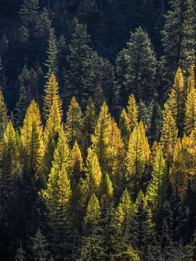 USA, Washington State, Cle Elum, Kittitas County. Western larch near Blewett Pass. by Julie Eggers