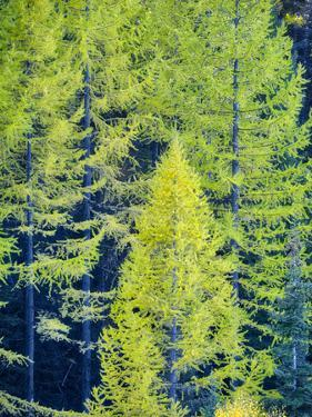 USA, Washington State, Cle Elum, Kittitas County. Western larch near Blewett Pass. by Julie Eggers