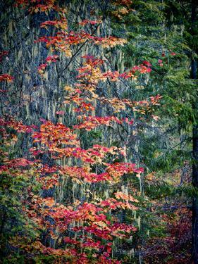 USA, Washington State, Cle Elum. Vine maples and moss hanging from the tree in Autumn. by Julie Eggers