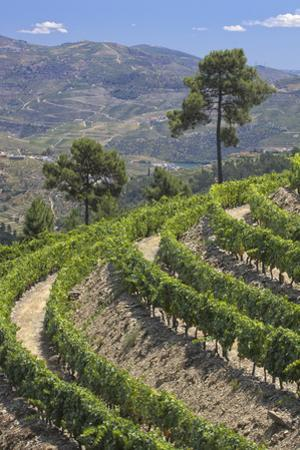 Vineyards of the Douro Valley, Pinhao, Portugal by Julie Eggers