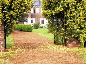 Yellow Jessamine at Gated Entry to Boone Hall Plantation, South Carolina, USA by Julie Eggers