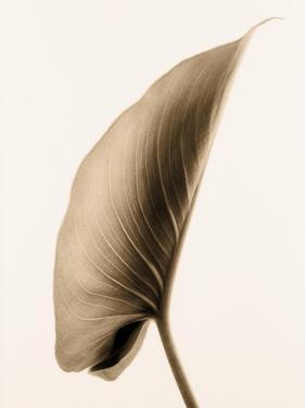 Alocasia 1 by Julie Greenwood