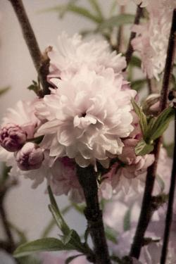 Blossoming Almond 2 by Julie Greenwood