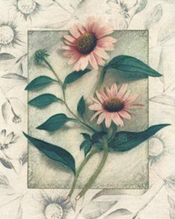 Echinacea by Julie Nightingale