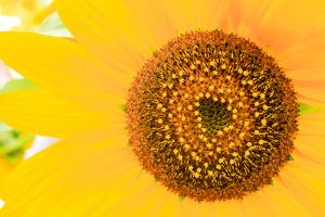 Santa Fe, New Mexico, USA of a yellow sunflower. by Julien McRoberts