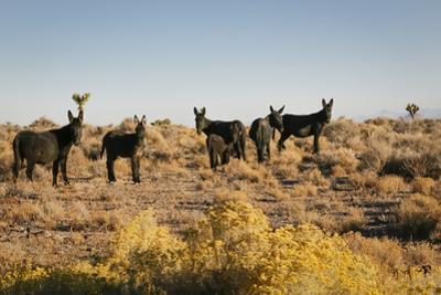 Wild burro herd, Goldfield, Nevada, USA by Julien McRoberts