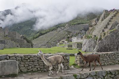Llamas roaming in the Inca ruins of Machu Picchu, UNESCO World Heritage Site, Peru, South America