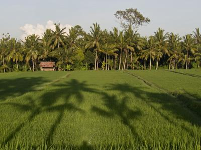 Rice Paddy Fields in the Highlands in Bali, Indonesia, Southeast Asia