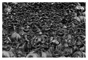 Wildebeest In Crossing by Jun Zuo