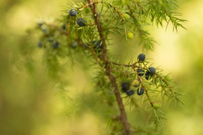 https://imgc.allpostersimages.com/img/posters/juniper-juniperus-communis-branch-with-blue-berries_u-L-Q1EYIWV0.jpg?artPerspective=n