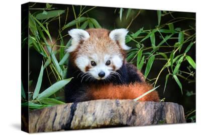 Red Panda by _jure