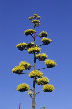 Agave (Agave parryi huachucensis) In flower, Arizona, USA by Jurgen & Christine Sohns
