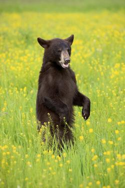 American Black Bear (Ursus americanus) cub, standing on hind legs in meadow, Minnesota, USA by Jurgen & Christine Sohns