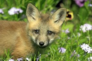 American Red Fox (Vulpes vulpes fulva) ten-weeks old cub, close-up of head, Montana by Jurgen & Christine Sohns