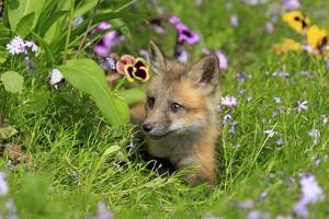 American Red Fox (Vulpes vulpes fulva) ten-weeks old cub, resting amongst flowers in meadow by Jurgen & Christine Sohns
