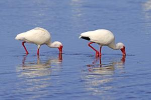 American White Ibis (Eudocimus albus) two adults, foraging in shallow water, Florida by Jurgen & Christine Sohns
