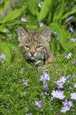 Bobcat (Lynx rufus) eight-weeks old cub, sitting amongst wildflowers in meadow, Montana, USA by Jurgen & Christine Sohns