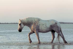 Camargue Horse, adult, walking in water at sunset, Saintes Marie de la Mer by Jurgen & Christine Sohns