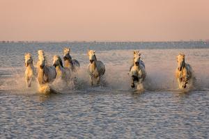 Camargue Horse, herd, running in water at sunset, Saintes Marie de la Mer by Jurgen & Christine Sohns