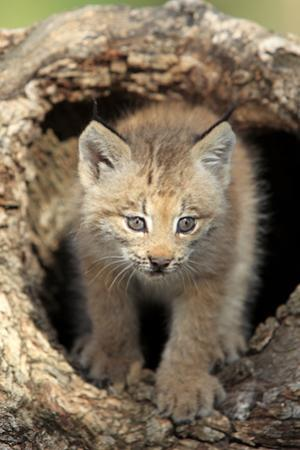 Canadian Lynx (Lynx canadensis) eight-weeks old cub, in hollow tree trunk, Montana, USA