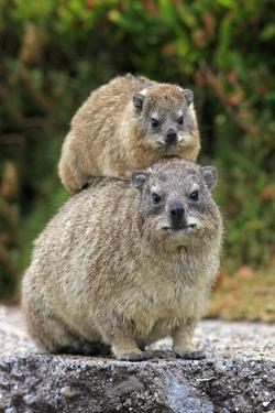 Cape Rock Hyrax (Procavia capensis) adult female with young, resting on back, Western Cape by Jurgen & Christine Sohns