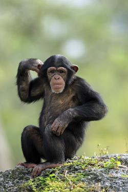Chimpanzee (Pan troglodytes) young sitting, scratching by Jurgen & Christine Sohns