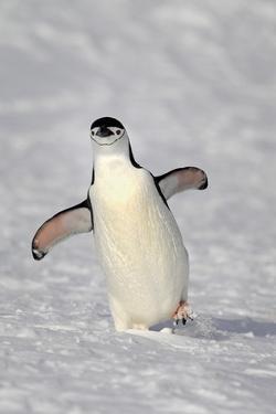Chinstrap Penguin (Pygoscelis antarctica) adult, walking on snow, Brown Bluff, Antarctic Peninsula by Jurgen & Christine Sohns