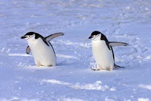 Chinstrap Penguin (Pygoscelis antarctica) two adults, walking on snow, Antarctic Peninsula by Jurgen & Christine Sohns