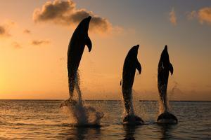 Common Bottlenose Dolphin (Tursiops truncatus) three adults, leaping, silhouetted at sunset, Roatan by Jurgen & Christine Sohns