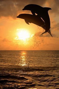 Common Bottlenose Dolphin (Tursiops truncatus) two adults, leaping, silhouetted at sunset, Roatan by Jurgen & Christine Sohns