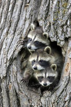 Common Raccoon (Procyon lotor) three young, at den entrance in tree trunk, Minnesota, USA by Jurgen & Christine Sohns