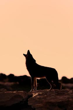 Coyote (Canis latrans) adult, howling, silhouetted at sunrise in high desert, Monument Valley by Jurgen & Christine Sohns