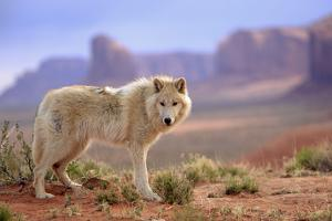 Grey Wolf (Canis lupus) adult, standing in high desert, Monument Valley, Utah by Jurgen & Christine Sohns
