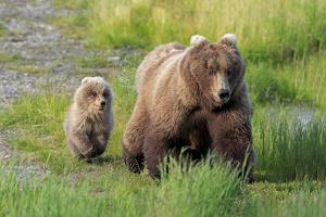 Grizzly Bear (Ursus arctos horribilis) adult female with cub, foraging at edge of water, Katmai by Jurgen & Christine Sohns